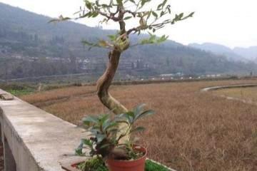 黄杨老桩盆景怎么上盆造型的方法 图片