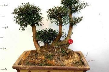 如何把赤楠树桩盆景采挖时的伤根剪除?