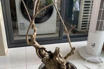 紫薇盆景老桩怎么造型的方法 图片