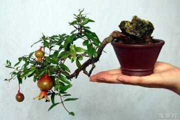 怎样蟠扎石榴盆景 修剪对开花坐果?