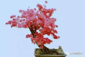杜鹃花盆景的放置场所与翻盆