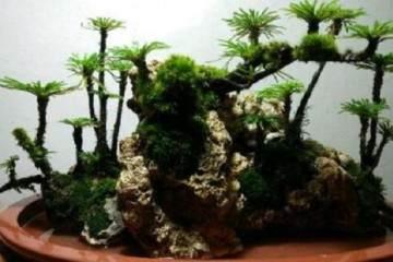卷柏盆景的看起來是枯死的 其實植株是正常生長的