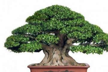小叶榕树盆景怎么弄造型?