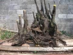 下山桩发芽后怎样养护 求喷水方法 图片