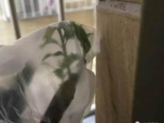 下山桩冬季出芽后怎么养护 有什么方法 图片