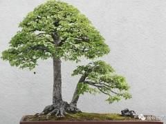 采挖榆树下山桩的最好时间什么时候?