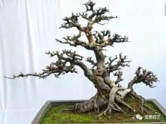 如何栽培榆树下山桩 怎么养桩 图片