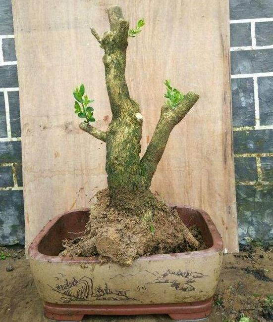 黄杨下山桩的土壤配置方法