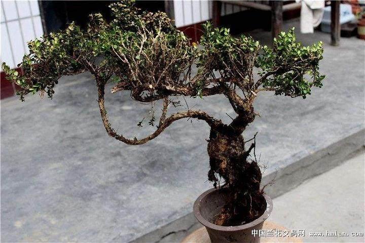 黄杨树下山桩怎么养护?