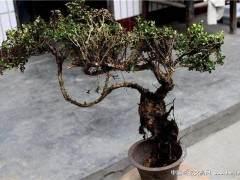 黄杨树下山桩怎么养护 如何养活 求方法 图片