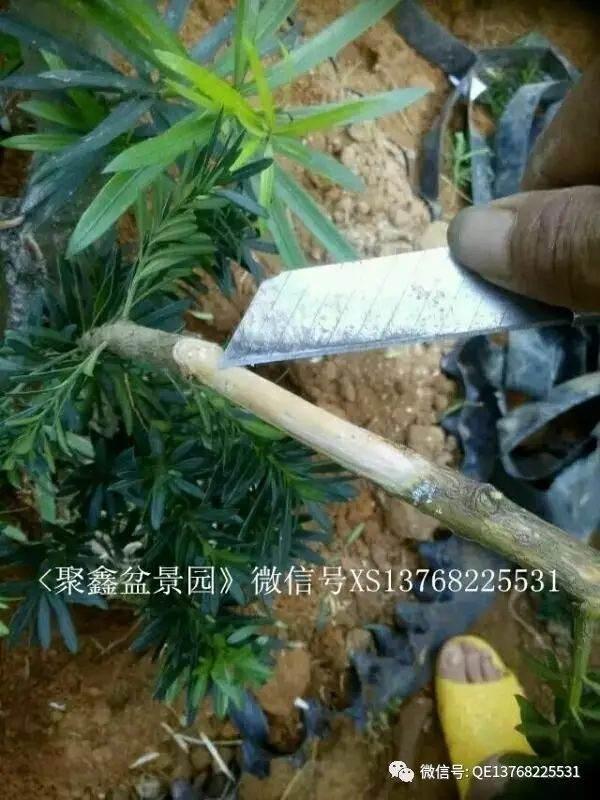罗汉松下山桩的种植和靠接方法