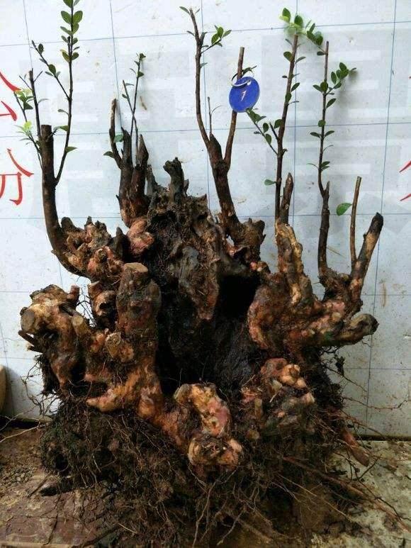 如何预防赤楠下山桩的假活问题?