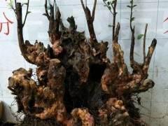 怎么预防赤楠下山桩的假活问题 图片