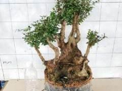 赤楠下山桩怎么发根与养胚方法 图片