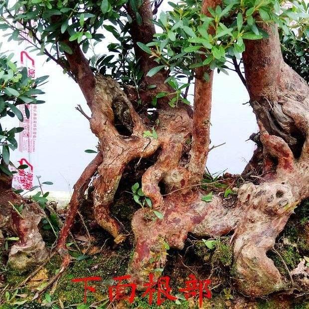 如何解决赤楠下山桩成活率低的问题?