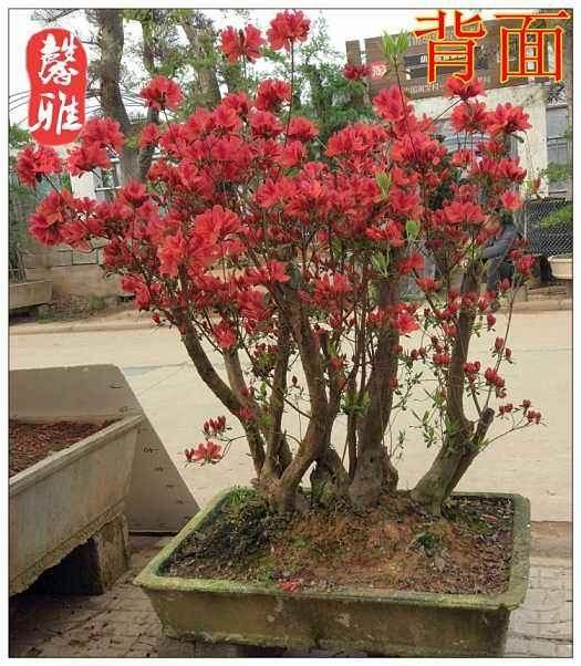 映山红下山桩的根部及枝叶处理