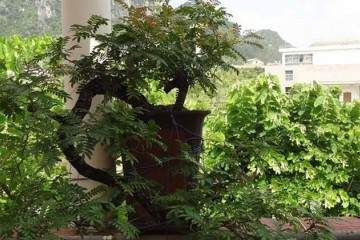 清香木作为盆景素材主要有以下3个优势