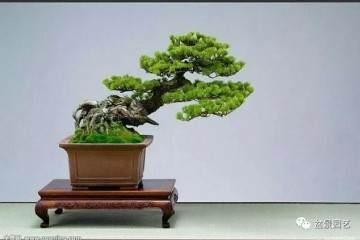 如何给给树木 山石盆景上苔藓?