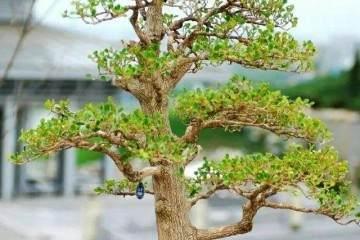 夏季怎样才能养好漂亮小叶黄杨盆景?
