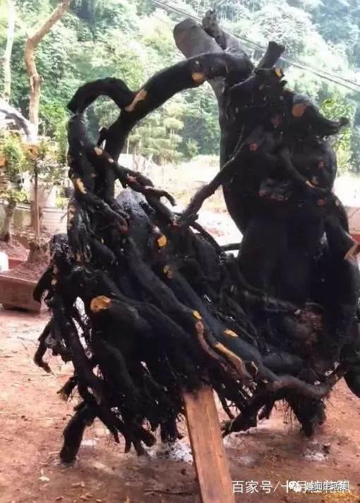 大爷山上挖到丛林金弹子下山桩 拿市场卖了8千块