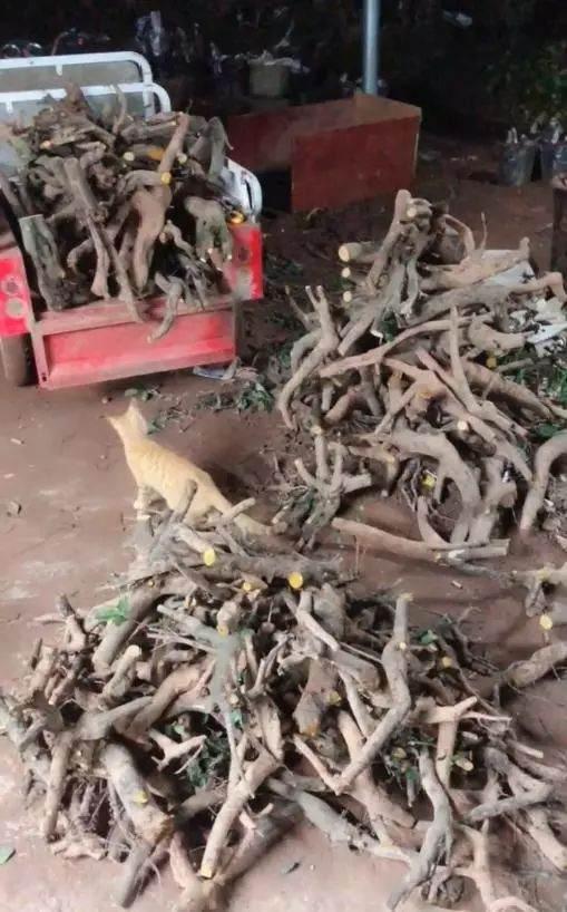 1年挖上千棵金弹子下山桩 最后堆成堆打包卖