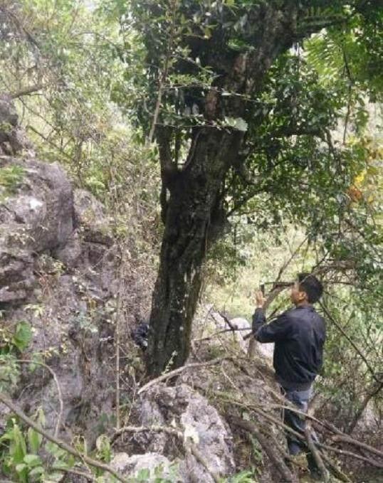 树茎55公分的金弹子下山桩 至少有2吨重