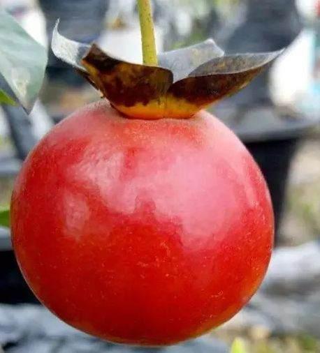 一棵金弹子下山桩 上挂满血红果