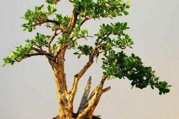 黄杨盆景生根后怎么换盆种植的3个方法