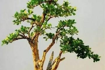制作黄杨盆景的土壤要求与修整造型