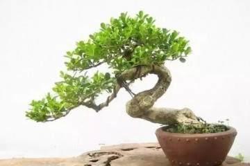 黄杨盆景的修剪和造型设计