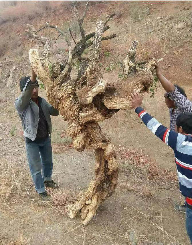 王麻子挖到一棵黄杨下山桩 全桩重约200多斤