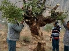 王麻子挖到一棵黄杨下山桩 全桩重约200多斤 图