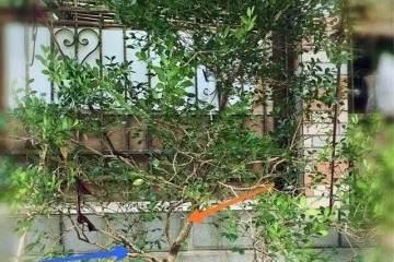 黄杨盆景如何修剪造型更好?