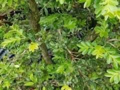 栽了5年的黄杨下山桩 怎么长出这种果子