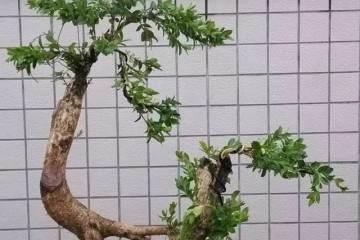 黄杨盆景的生长速度 取决于松土程度