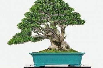 黄杨盆景浇水太多 会使根部缺氧 从而造成烂根