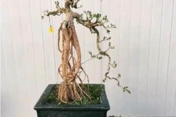 如何对雀舌大叶黄杨盆景蟠扎与提根