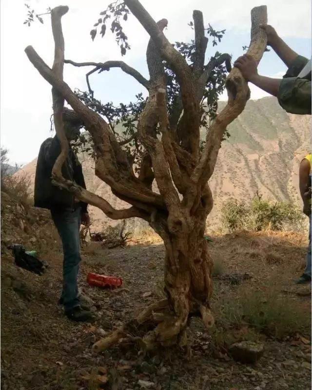 他专挖黄杨下山桩 1年挖上百棵 没有当场抓住
