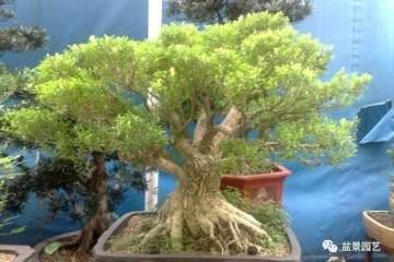 黄杨盆景是一年四季常绿的植物