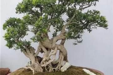 黄杨盆景发生肥害 一般是在施肥不当 怎么办?