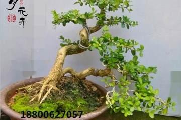 秋季黄杨盆景的养殖方法和注意事项