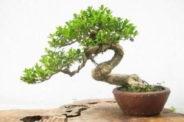 刚爆芽的黄杨盆景怎么施肥?