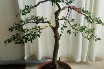 图解 瓜子黄杨盆景怎么嫁接造型的方法