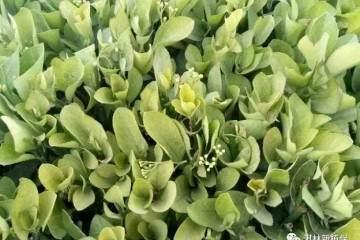 如何预防黄杨盆景的白螨病虫害?