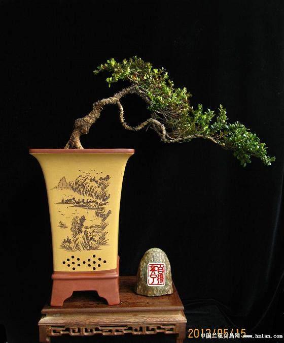 小叶黄杨盆景的养法