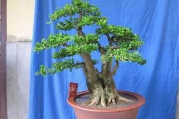 实用:瓜子黄杨盆景的栽培 制作 养护方法
