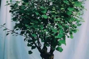 百年树木-一颗70年银杏盆景的故事