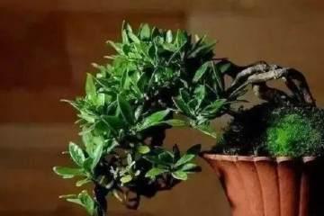 盆景植物控叶的5个技巧
