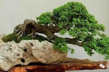 树桩盆景的养胚与繁殖方法