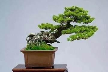 树木盆景长出一层绿色苔藓 观赏效果更好